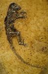 Fossil of Ida (Darwinius masillae)