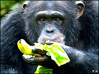 Chimp eathing a banana