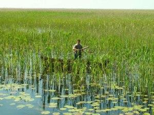 Danube Delta Bulrush Harvesting